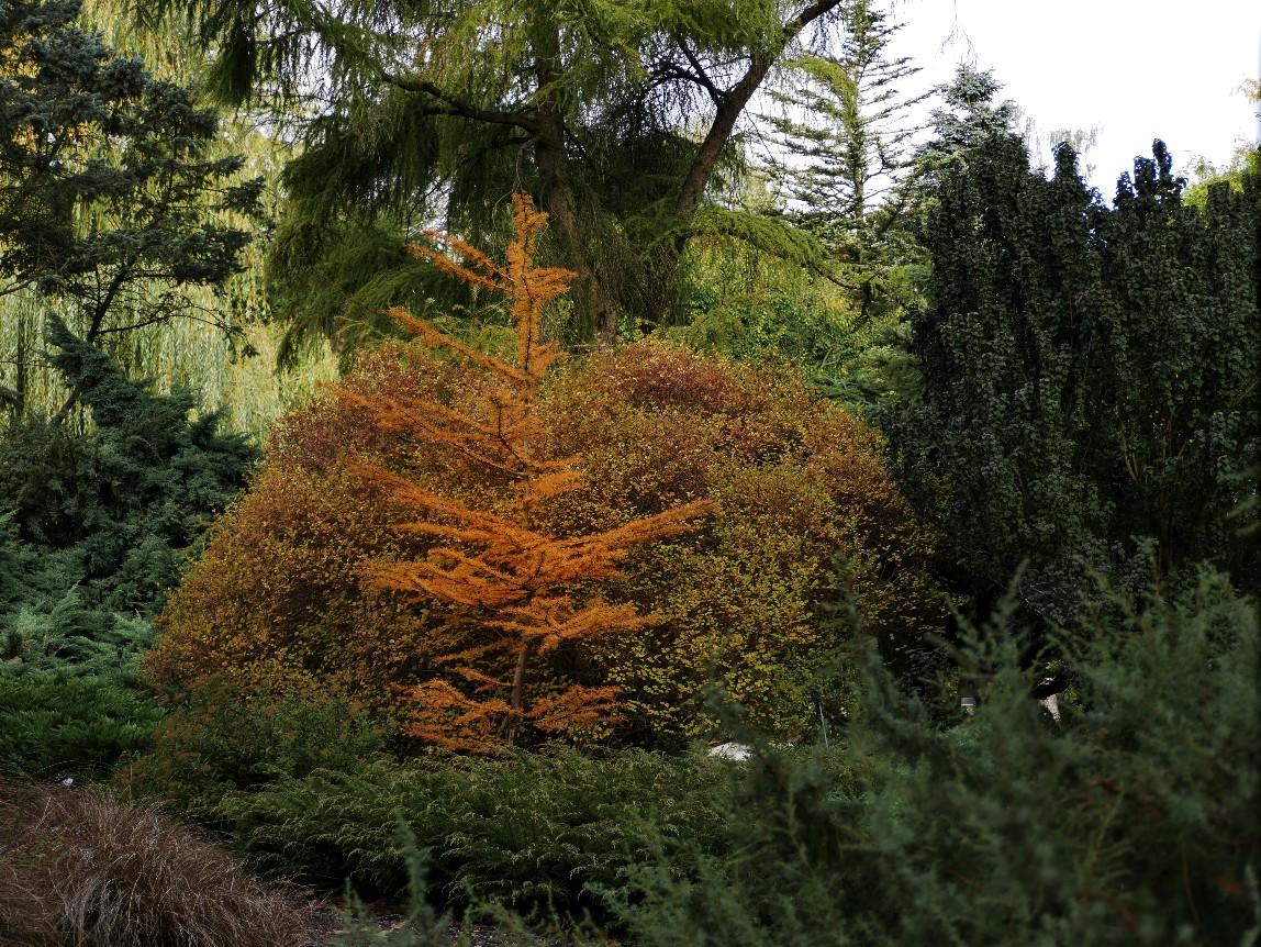Herbstblätter Lärche