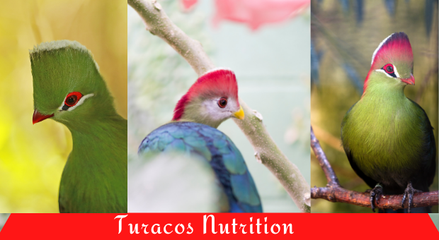 how to feed turacos