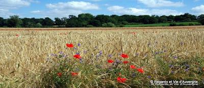 Limagne, été, Auvergne, blé, coquelicots, bleuets.