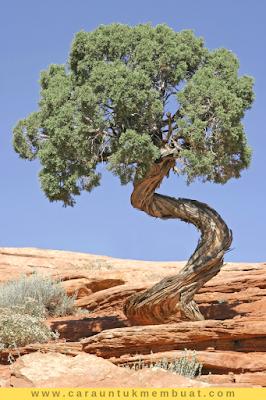Juniper Tree on Canyonlands 20