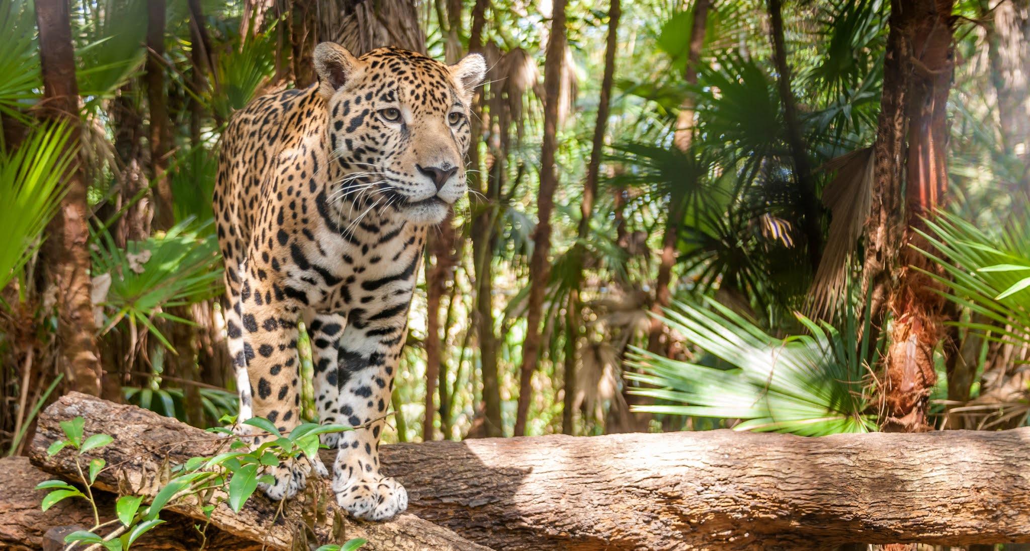 Ягуар в парке Игуасу в Аргентине