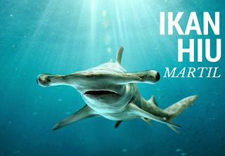 atau Scalloped Hammerhead merupakan ikan hiu  Kabar Terbaru- HIU MARTIL SI PREDATOR BERKEPALA UNIK