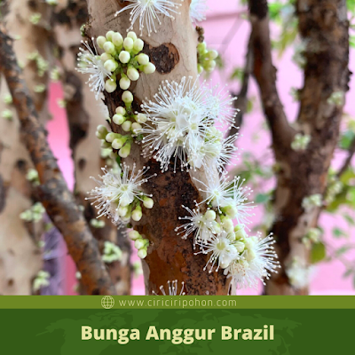 Ciri Ciri Bunga Anggur Brazil