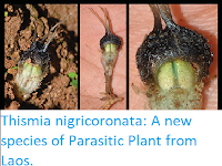https://sciencythoughts.blogspot.com/2017/09/thismia-nigricoronata-new-species-of.html