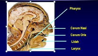 anatomi-saluran-nafas