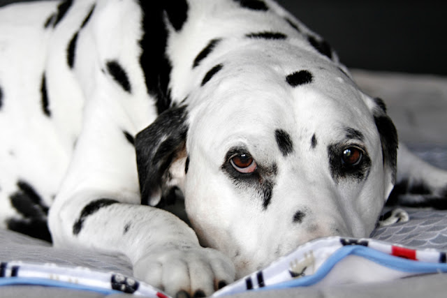 Senior Dalmatian dog lying on a bed with blankets
