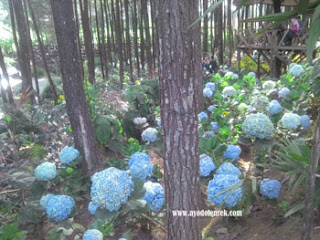 Taman bunga di Hutan Pinus Precet, Wagir, Malang