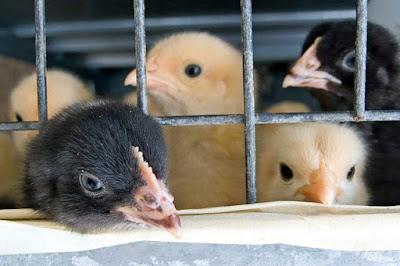 peluang usaha ternak ayam kampung intensif