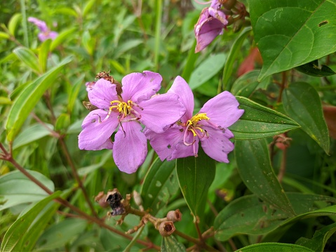 Bunga senggani obati penyakit kelenjar
