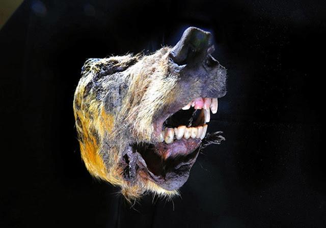 Giant Pleistocene wolf discovered in Siberian permafrost