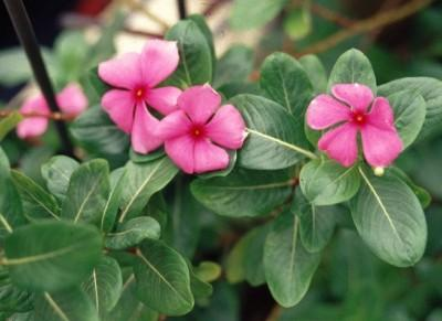 Flower Picture Inspirations: Catharanthus roseus flower
