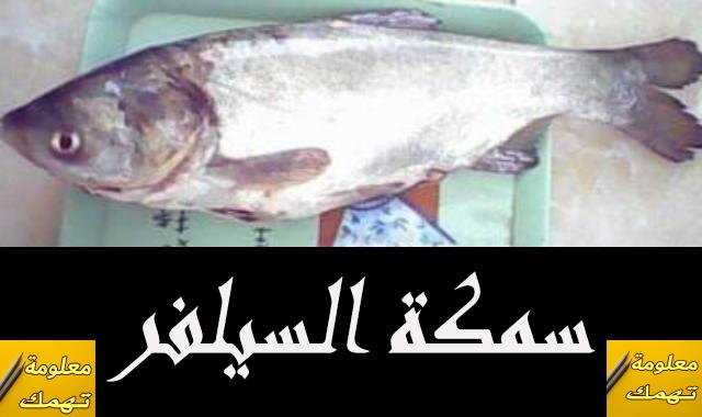 سمكة السيلفر