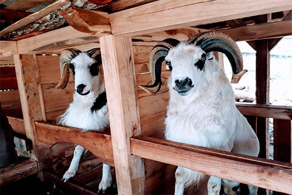 Prospek Bisnis Online Berjualan Domba Garut