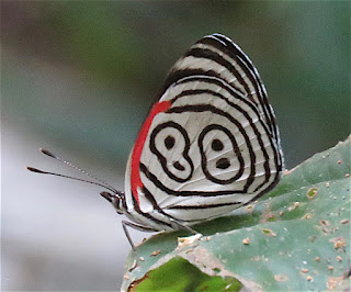 Diaethria clymena, Widespread Eighty-eight