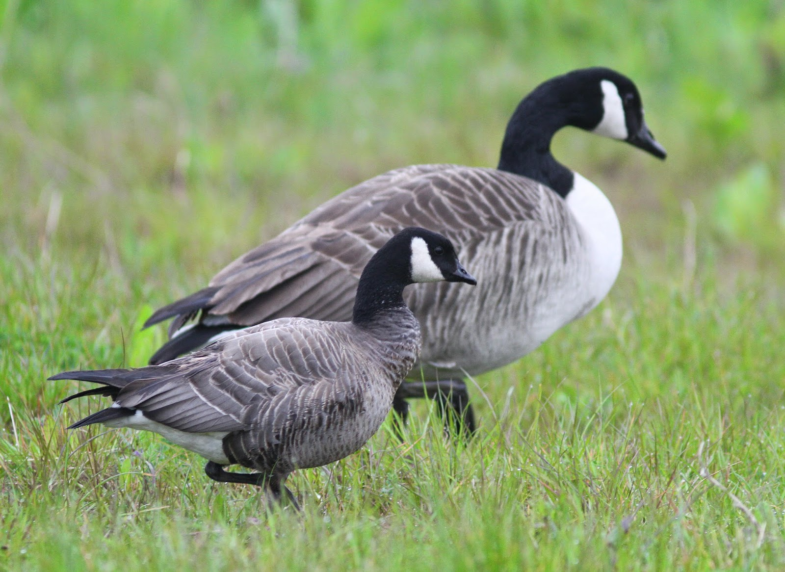 Non Stop Birding Ridgway S Canada Goose And A Few Migrants
