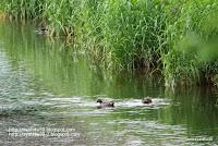 マガモが泳ぐ風景の写真