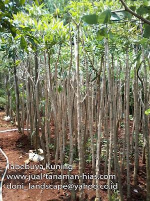 Jual Pohon Tabebuya Kuning | Tanaman Tabebuya Murah