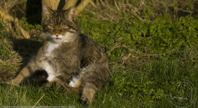Scottish Wildcat looking very relaxed