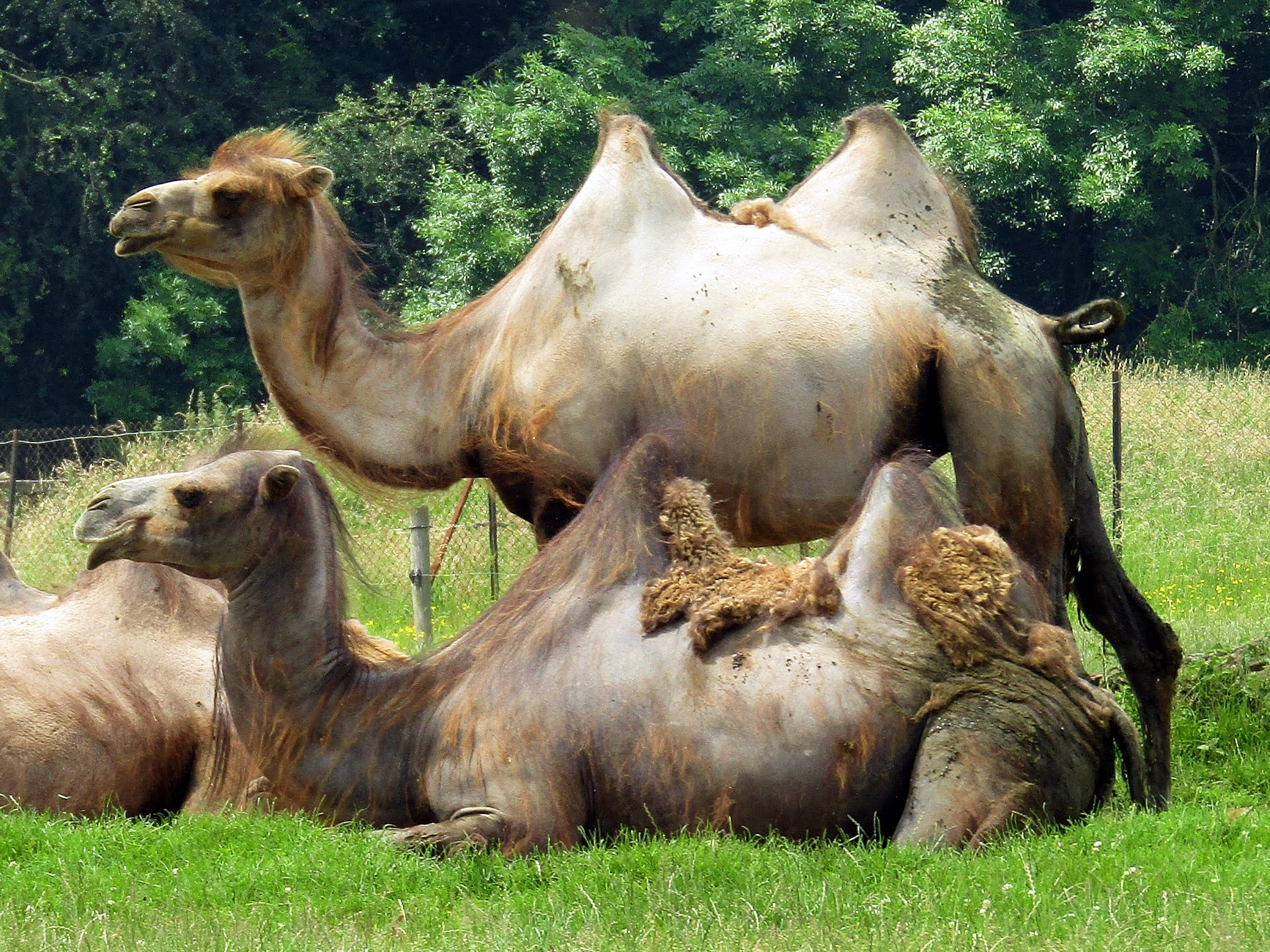 A photo of two Bactrian camels at Whipsnade Zoo.