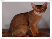 Abyssinian Animal Pictures