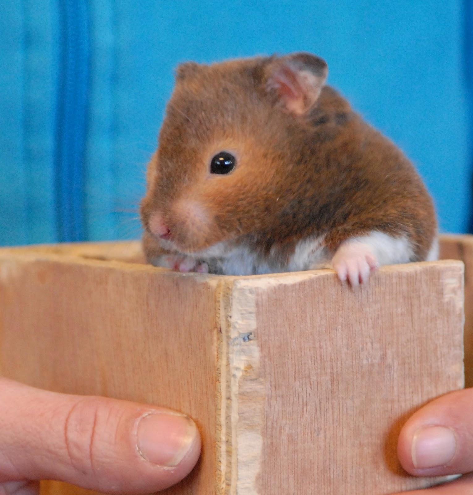 Cute Baby Teddy Bear Hamsters