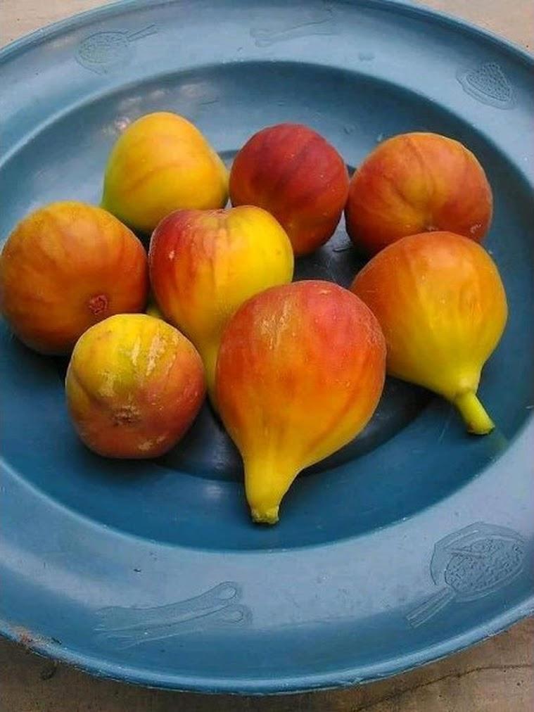 bibit buah tin syirian honey FC fresh cangkok Sumatra Barat