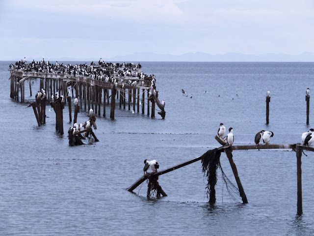 Birds of Patagonia: cormorants on the old pier in Punta Arenas Chile