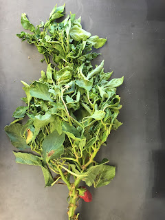 A chile pepper plant with leaf deformity, spotting and yellowing caused by a virus