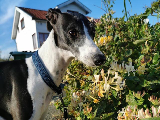 När man fotograferar blommor men en hund kommer emellan..