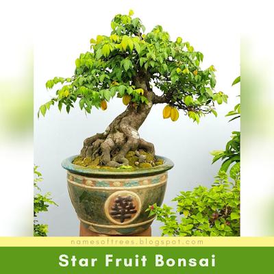 Star Fruit Bonsai