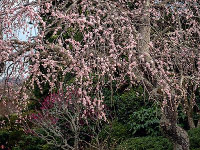 Shidare-ume (Prunus mume f. pendula) flowers: Kaizo-ji