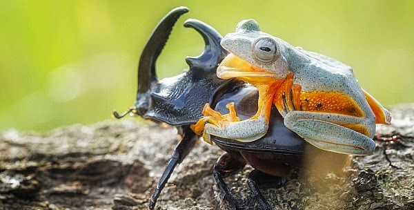 Watch this Cowboy Frog have fun riding a Beetle via geniushowto.blogspot.com reinwardt flying frog can be seen smiling the moments before the beetle starts to fly as the cowboy frog has fun rodeo of his life