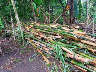 ciri-ciri-bambu-tali.jpg