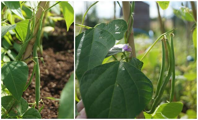 Climbing beans - www.growourown.blogspot.com ~ an ecotherapy blog