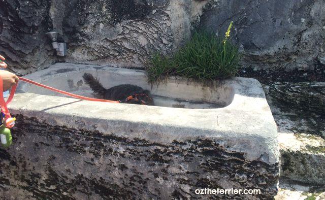 Oz the Terrier explores the bathtub at dog-friendly Coral Castle