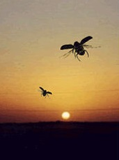 Los escarabajos vuelan al atardecer