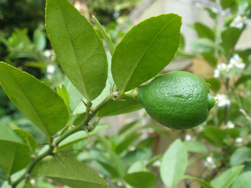 Kg Near Me >> MARIETTE'S BACK TO BASICS: {Our Citrus Aurantifolia - Key Lime}