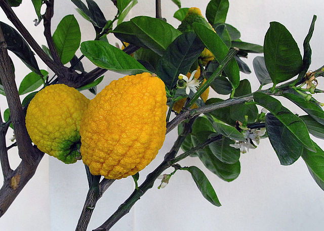 Ripe citon fruits on the tree ready for picking