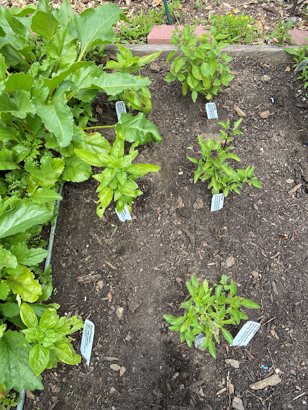 basil seedling plants