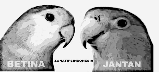 Membedakan jenis kelamin burung lovebird bagi pemula dapat dikatakan praktis gampang susah CARA MEMBEDAKAN JENIS KELAMIN BURUNG LOVEBIRD LENGKAP DENGAN GAMBAR