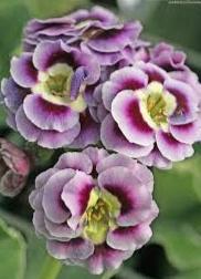 melati pink ungu