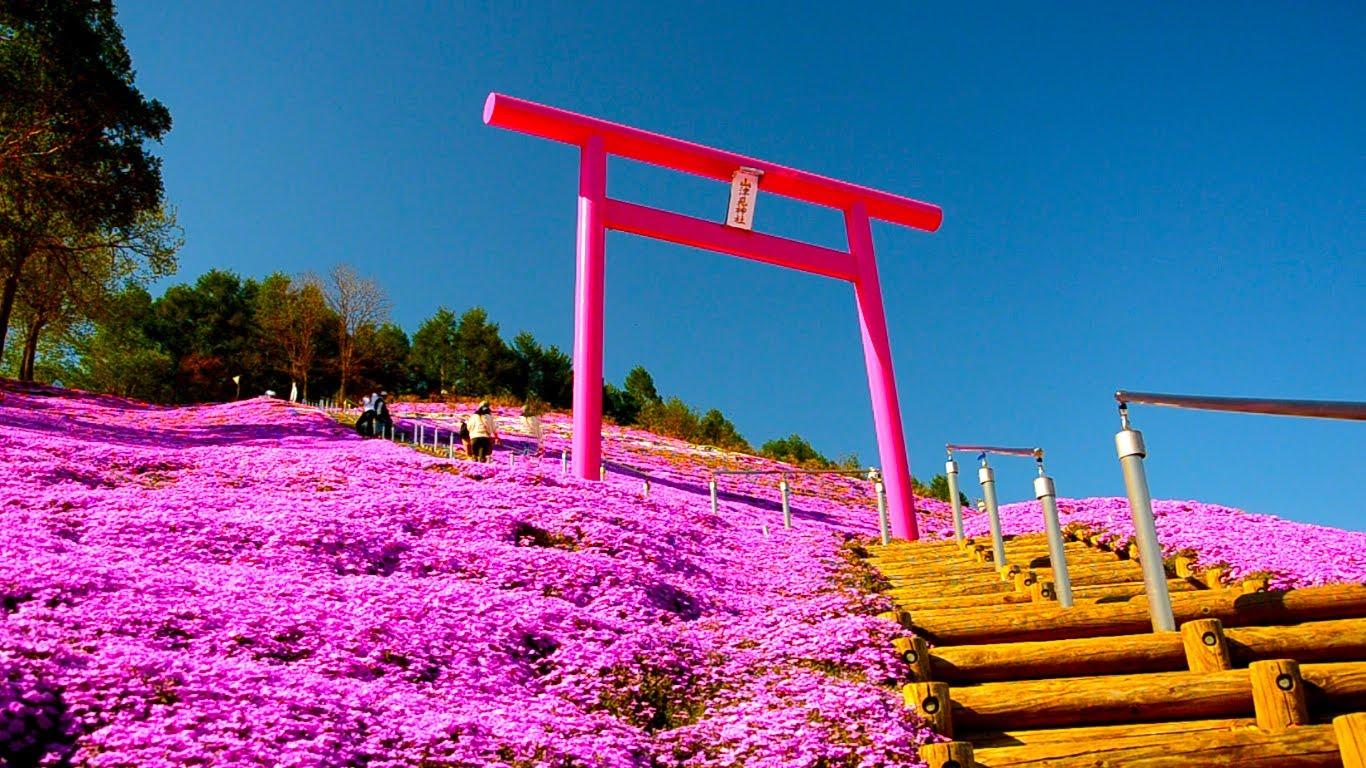 北海道賞芝櫻 東藻琴芝櫻公園變紅粉色花海