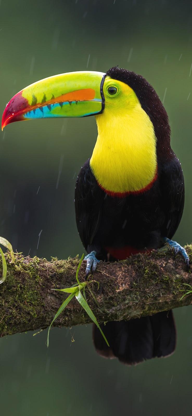 Green Toucan bird