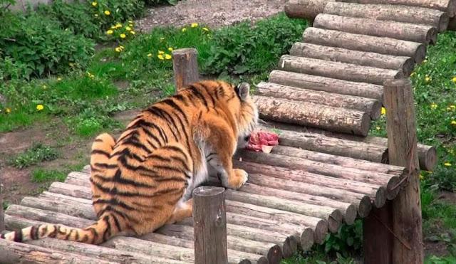 बाघ को खाना देने गई थी लड़की, होगया भयानक हाल