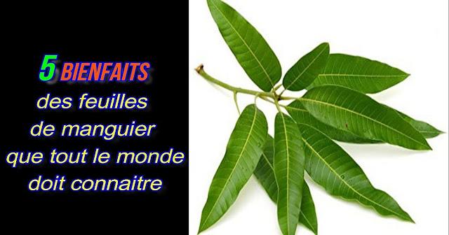 feuilles-de-manguier