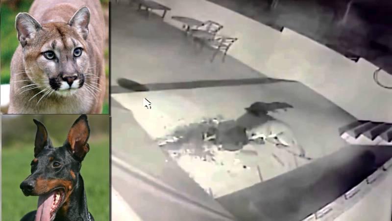 Ντόπερμαν γλιτώνει μόνο με ράμματα, την επίθεση ενός Κούγκαρ (βίντεο)