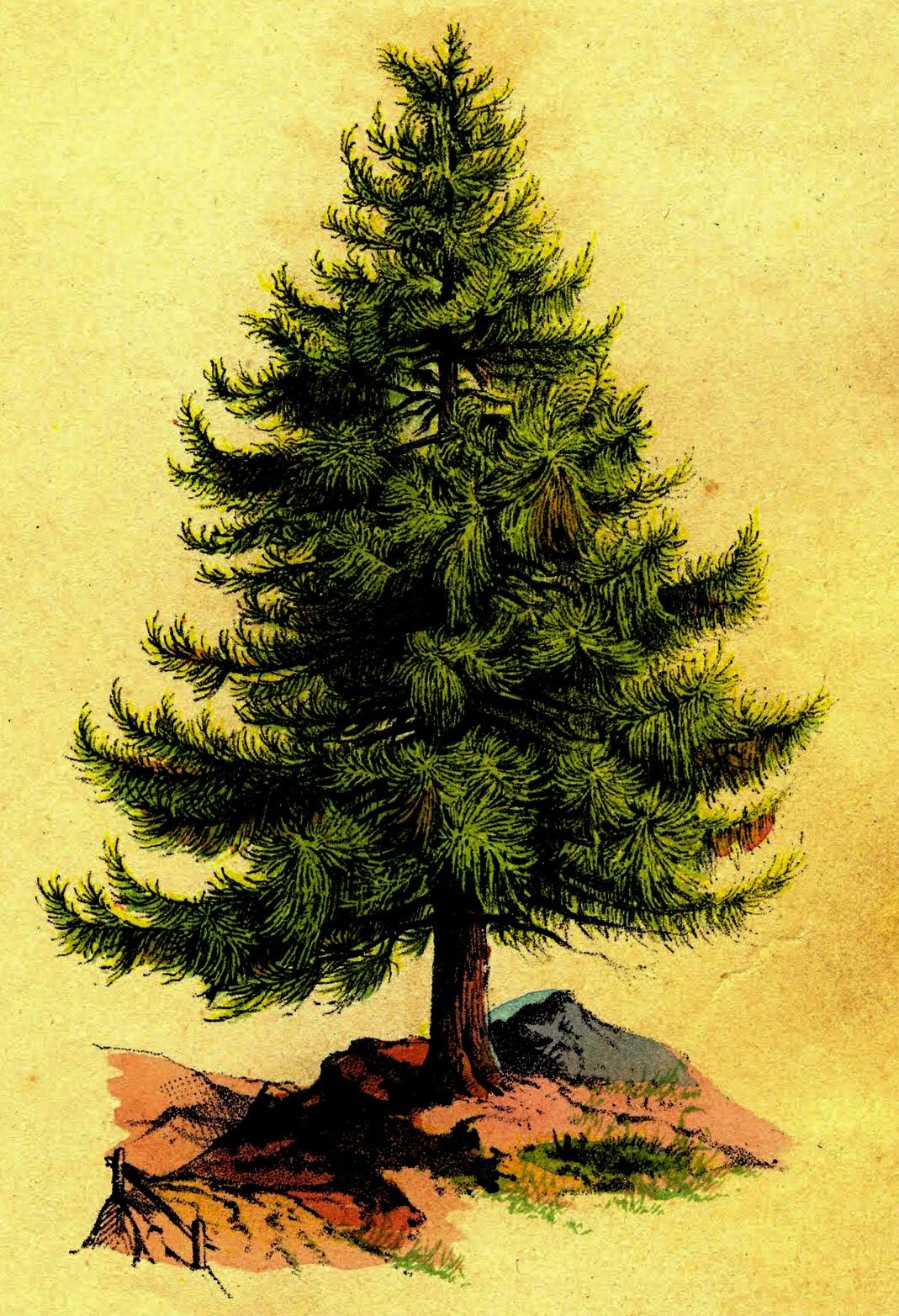 Daftar Gambar Mewarnai Pohon Cemara