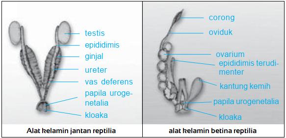 Gambar organ reproduksi pada reptilia