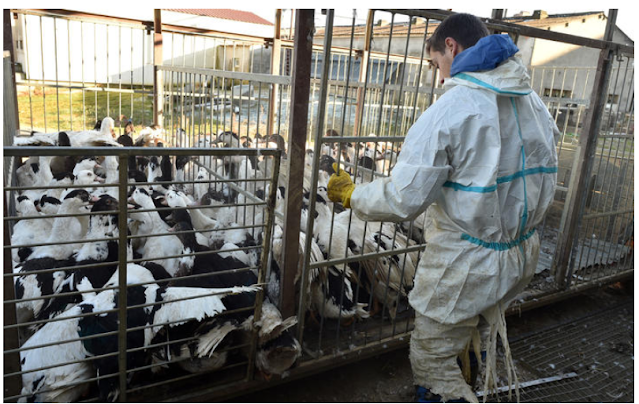 France and Germany cull more birds to contain bird flu outbreak