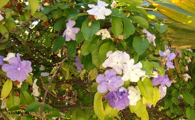 Jazmín de Paraguay Brunfelsia pauciflora